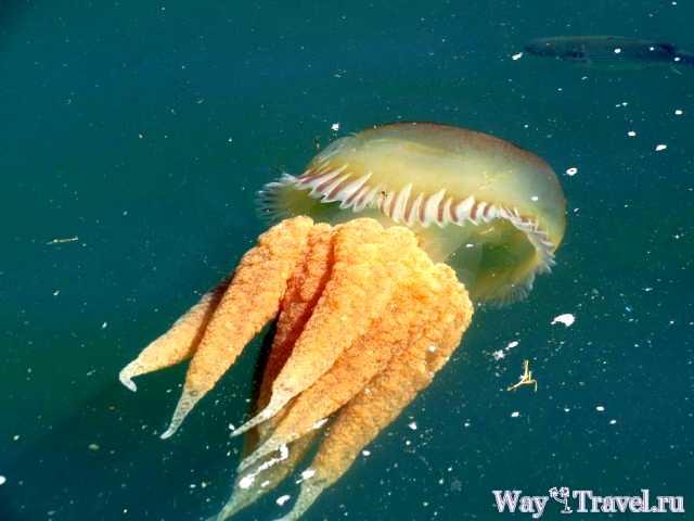 Медуза в реке Тежу (Jellyfish in the river Tejo)