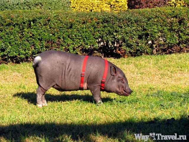 Домашняя свинья в садах Турии (Domestic pig in the Jardi del Turia)