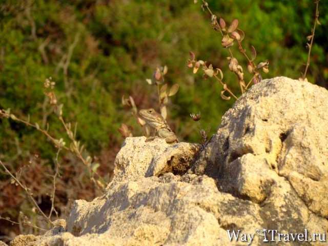 Ящерица принимает солнечные ванны ( Lizard sunbathing)