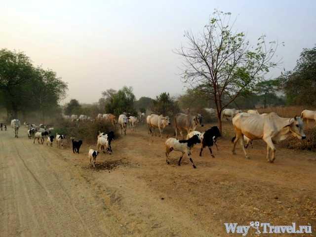Выгул скота вдоль дорог (Grazing along the roads)