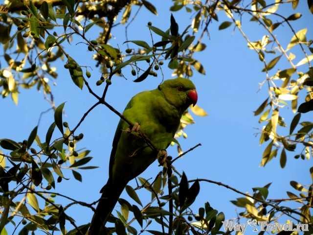 Попугай из Кашкаиша (Parrot from Cascais)