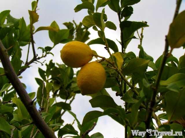 Лимонное дерево (Lemon tree)